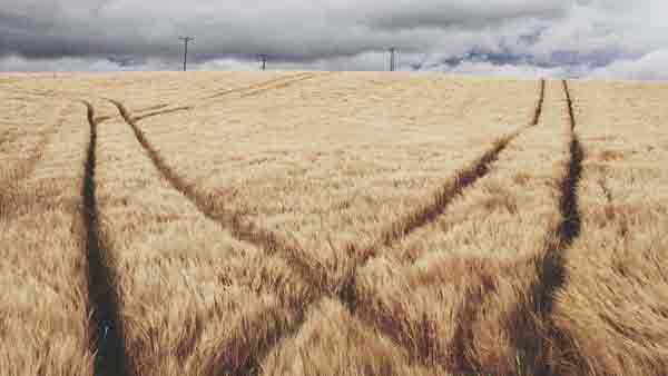 Barley field with grey sky