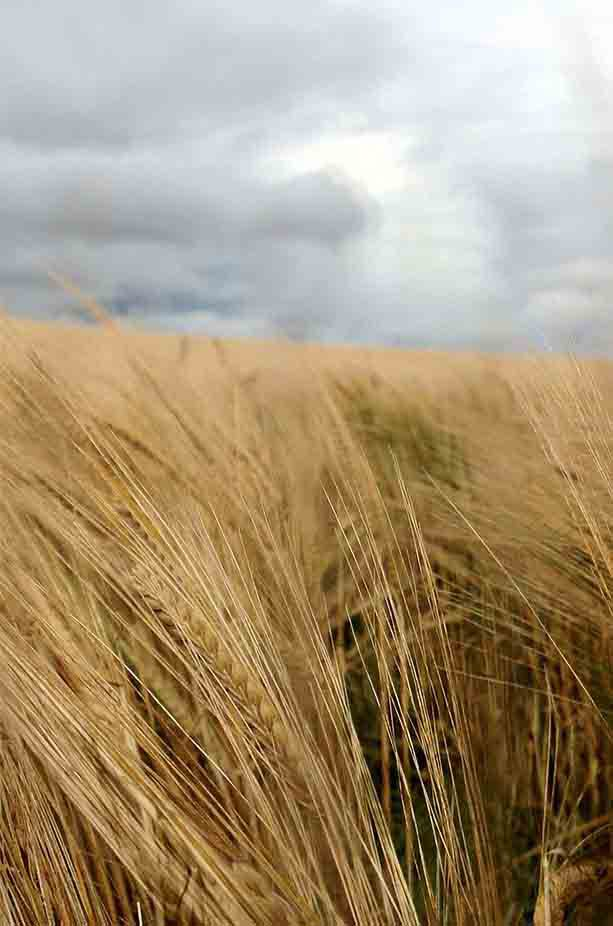 Close up of barley in a barley field